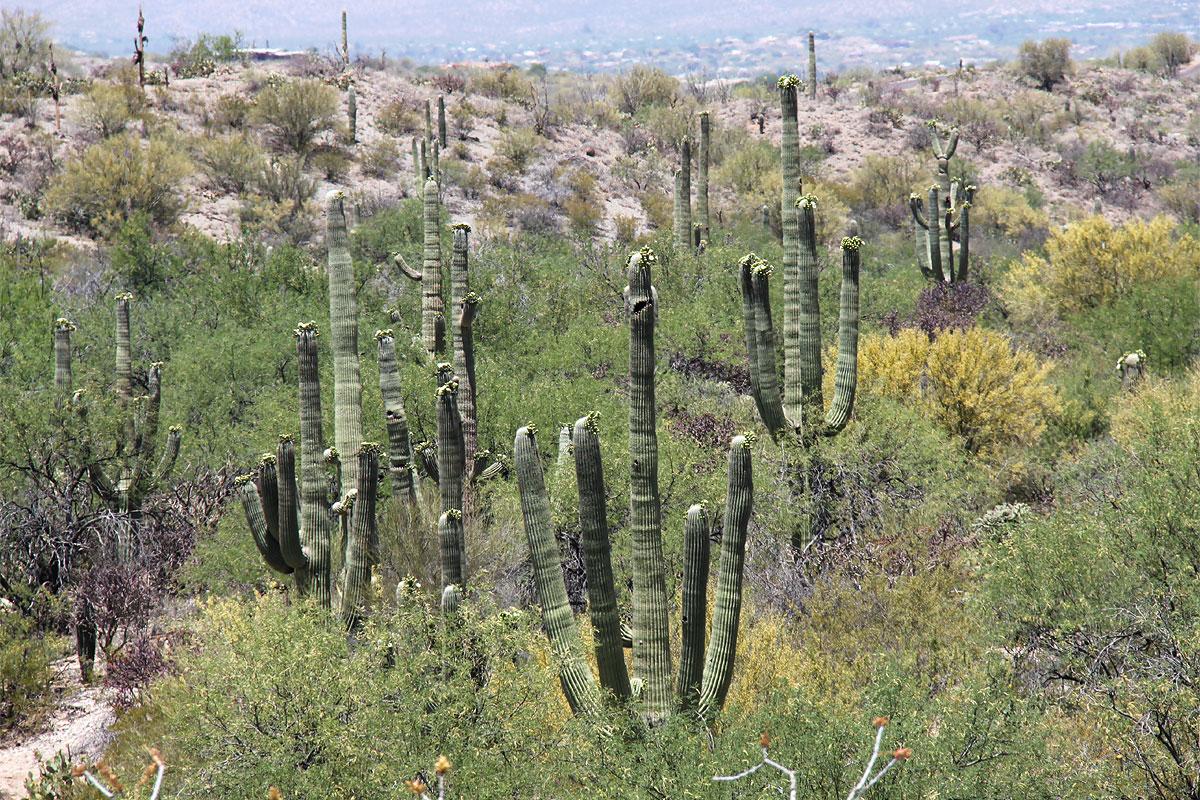 Кактусы Сагуаро в национальном парке в Тусоне